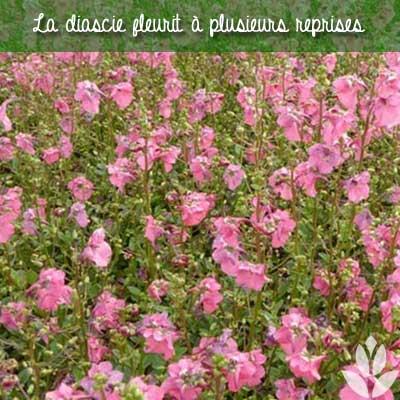 diascie floraison