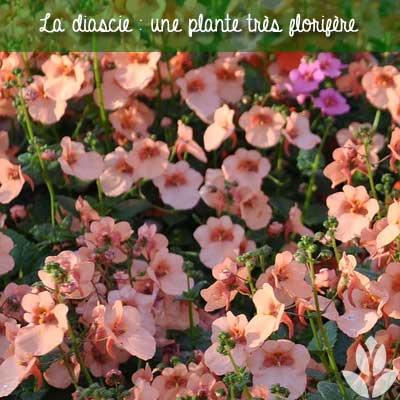 diascie plante florifère