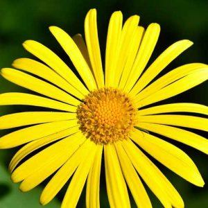 doronic fleur du jardin