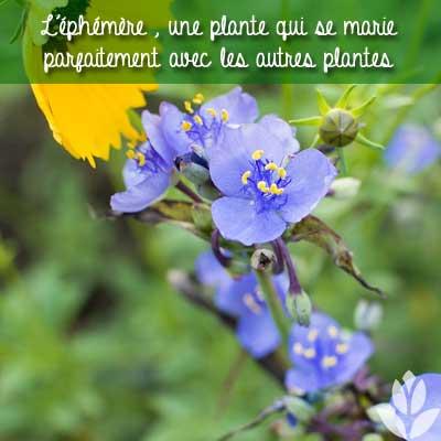 éphémère associations de plantes