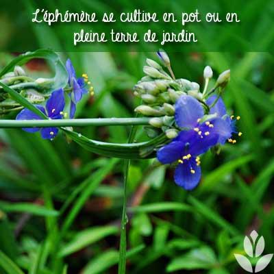 éphémère à cultiver en pot ou en pleine terre du jardin