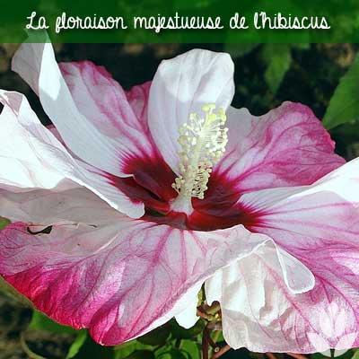 floraison hibiscus