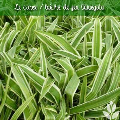 laiche variegata