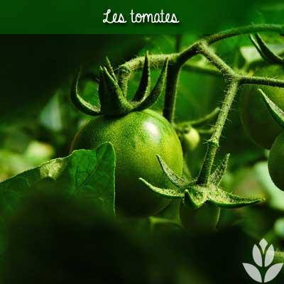tomates vertes du potager