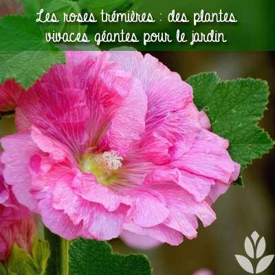 rose trémière du jardin
