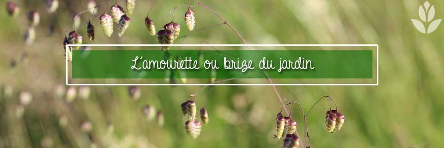 amourette ou brize plante