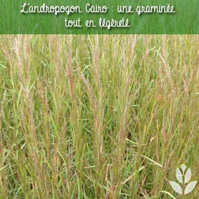 andropogon cairo