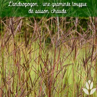 andropogon graminée touffue