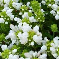 brunelle à grandes fleurs white loveliness
