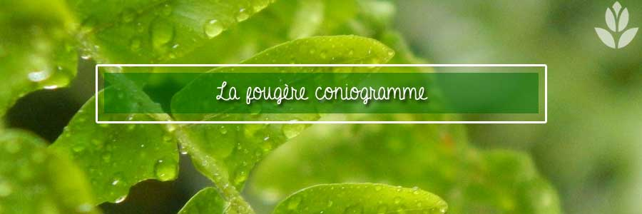 coniogramme