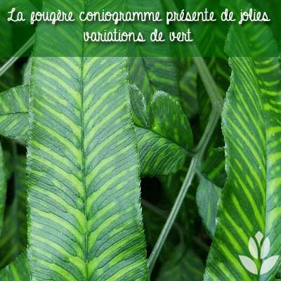 feuillage coniogramme