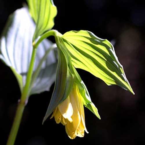 fleur de disporum cloche des fées
