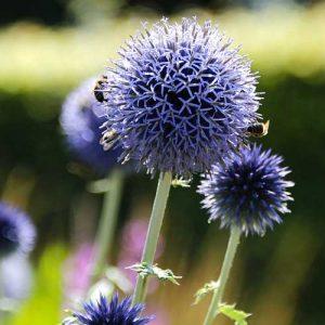 echinops abeilles