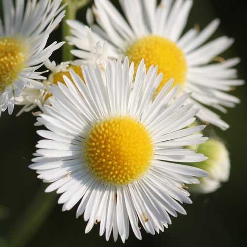 fleur d'érigéron