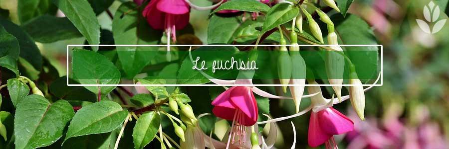 fuchsia_du_jardin
