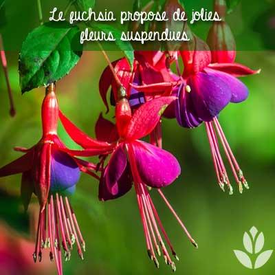fuchsias fleurs