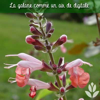 galane digitale