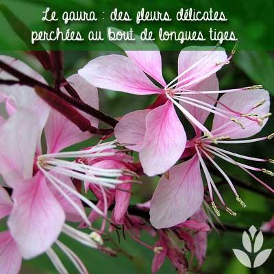 fleurs de gaura