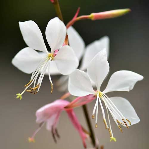 fleur de gaura