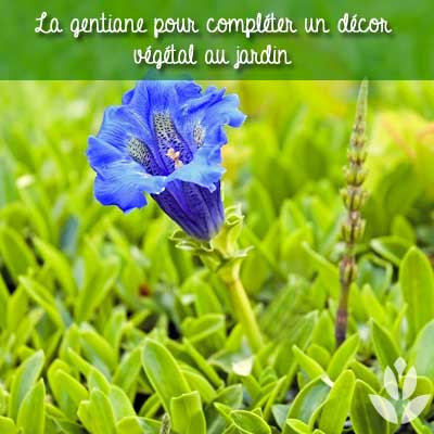 gentiane du jardin