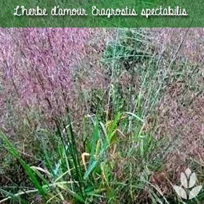 herbe d'amour eragrostis spectabilis