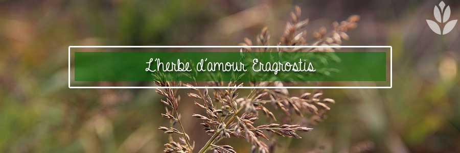 herbe d'amour