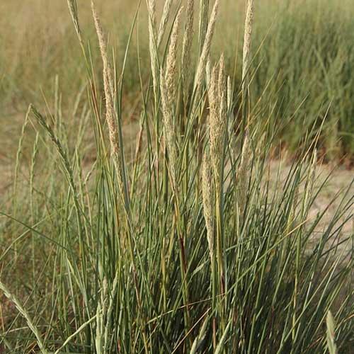 oyat roseau des sables