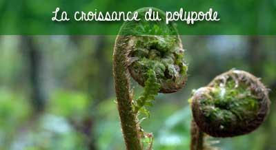 croissance du polypode