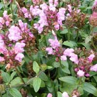prunelle à grande fleur pink loveliness