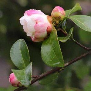 camélia arbuste feuillage fleurs roses blanches