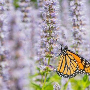 nepeta fleur violet papillon