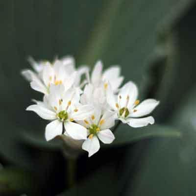 Triteleia-fleur