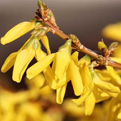 forsythia mimosa de paris branche floraison jaune