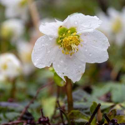 hellébore blanche rose noël
