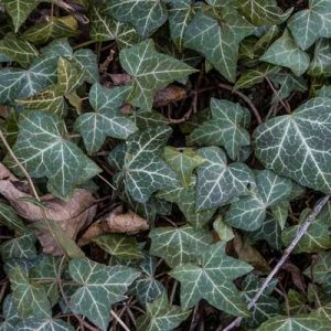 lierre plante grimpante feuilles vertes