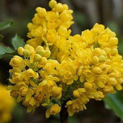 mahonia arbuste floraison jaune