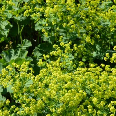 Alchemille Achemilla feuillage fleurs