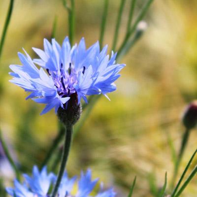 bleuet fleur bleue bleuet des champs