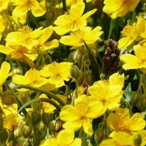 hélianthème fleurs jaunes