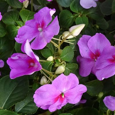 Impatiens feuillage vert floraison rose