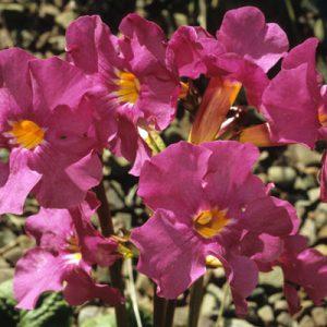 Incarvillées Incarvillea Fleurs Roses