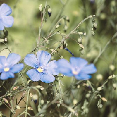 Lin bleu graminées