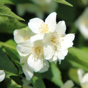 Seringat Seringa Floraison blanche