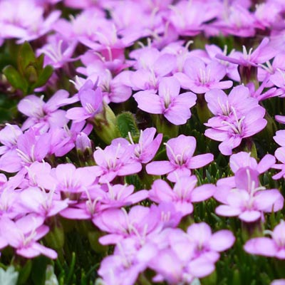 Silène champs violet