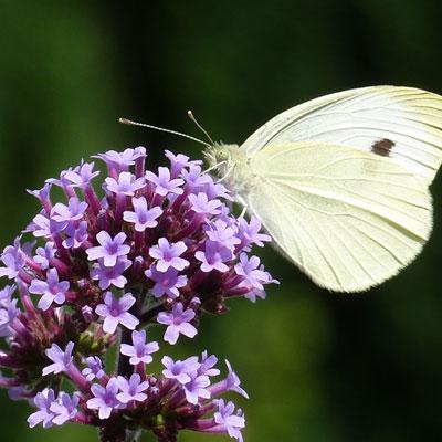 verveine fleur violette phyla papillon blanc