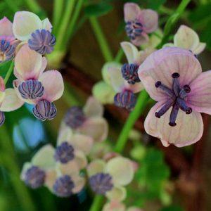 akebia liane chocolat fleurs blanches pourpres