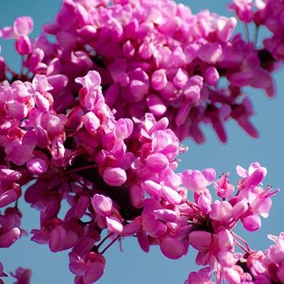 fleurs arbre de judée cercis