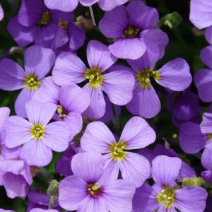 aubrieta fleurs violettes