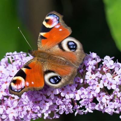 buddleia violet arbre papillon