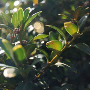 Buis feuillage vert